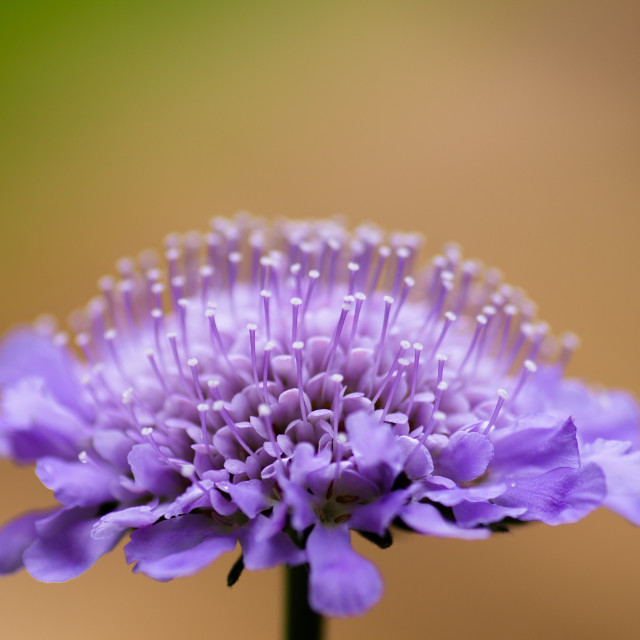 """Scabiosa Butterfly Blue"" stock image"