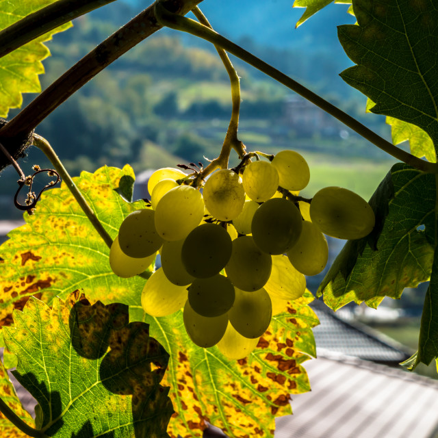"""Yellow grapes"" stock image"