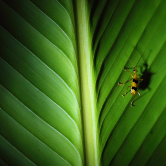 """Yellow insect on leaf with large shadow, Costa Rica"" stock image"