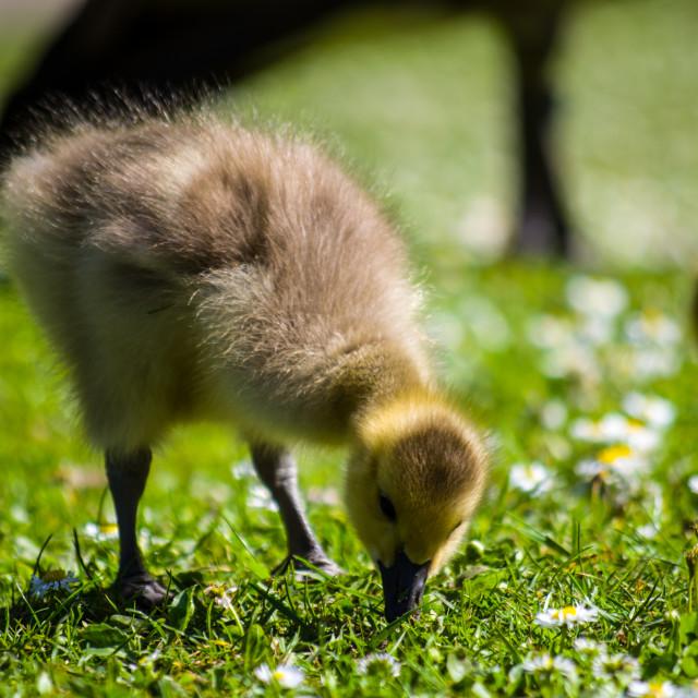 """Canada Goose Goslings"" stock image"