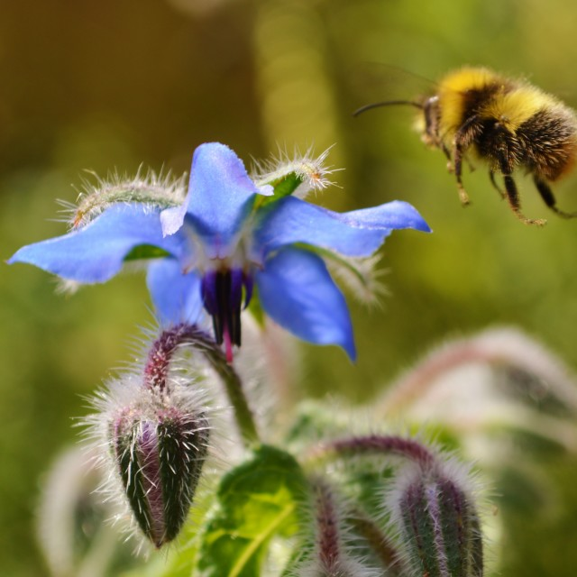 """""""A Honey bee and Borage flower."""" stock image"""