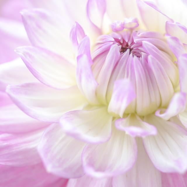 """""""Lilac Dahlia"""" stock image"""