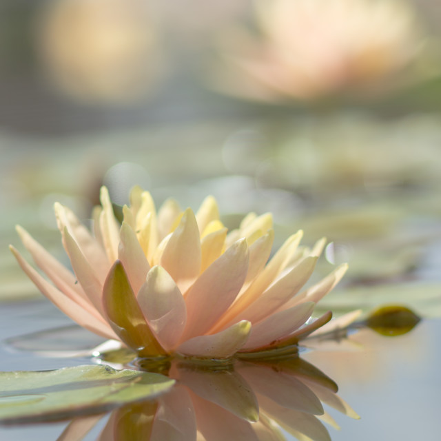 """Waterlilies"" stock image"