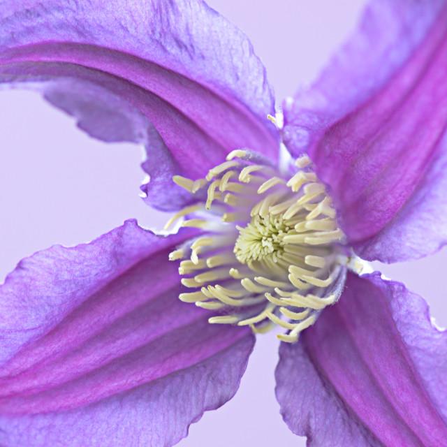 """Purple Clematis"" stock image"
