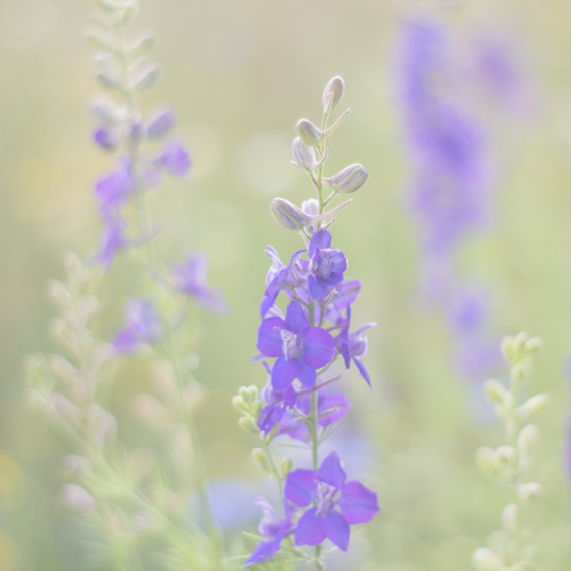 """Blue Wildflowers"" stock image"