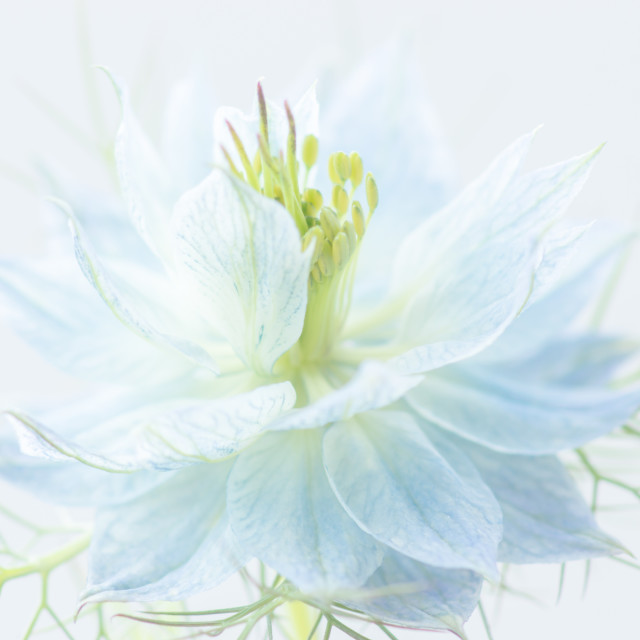 """Love-In-A-Mist"" stock image"