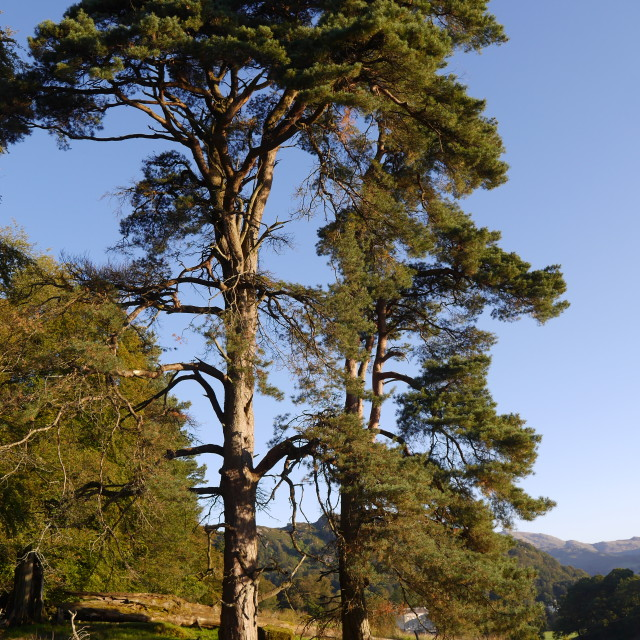 """Lake District Trees"" stock image"