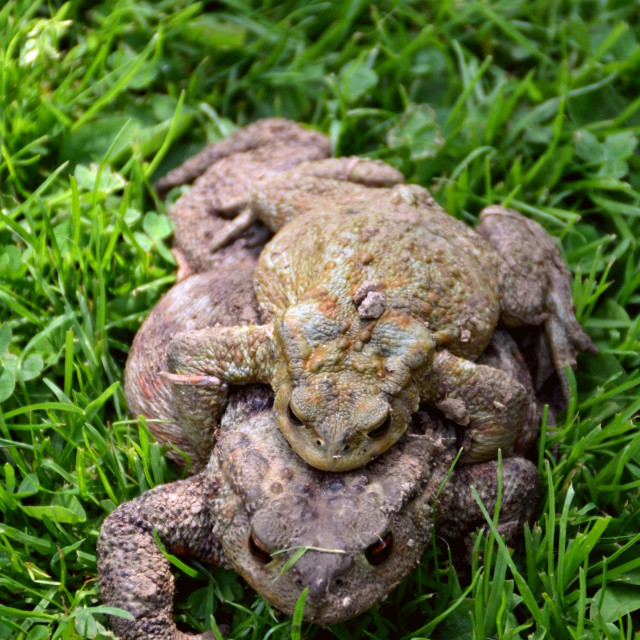 """Toads Mating"" stock image"