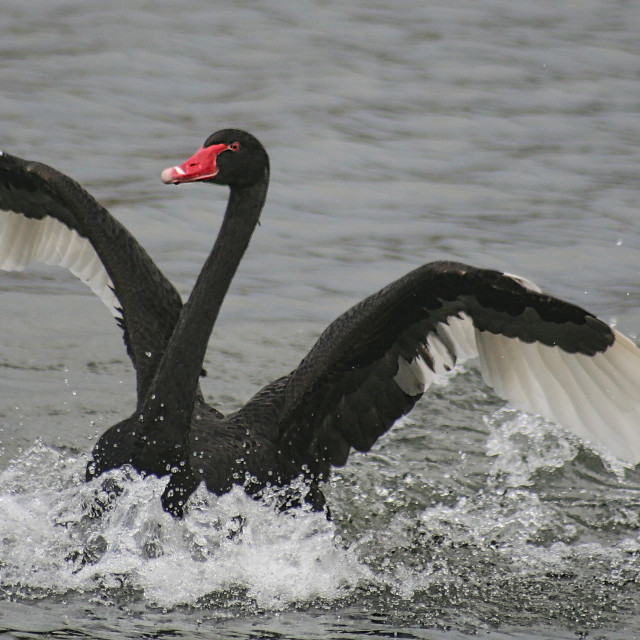 """""""Black Swan landing"""" stock image"""