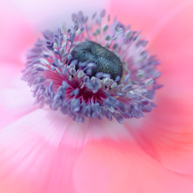 """Poppy Anemone"" stock image"