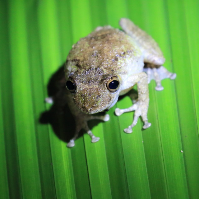 """Brown frog sitting on leaf. Night. Manuel Antonio, Costa Rica"" stock image"
