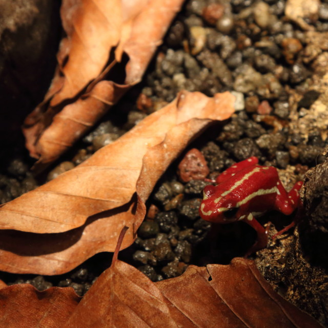 """Red Poison Arrow Frog"" stock image"