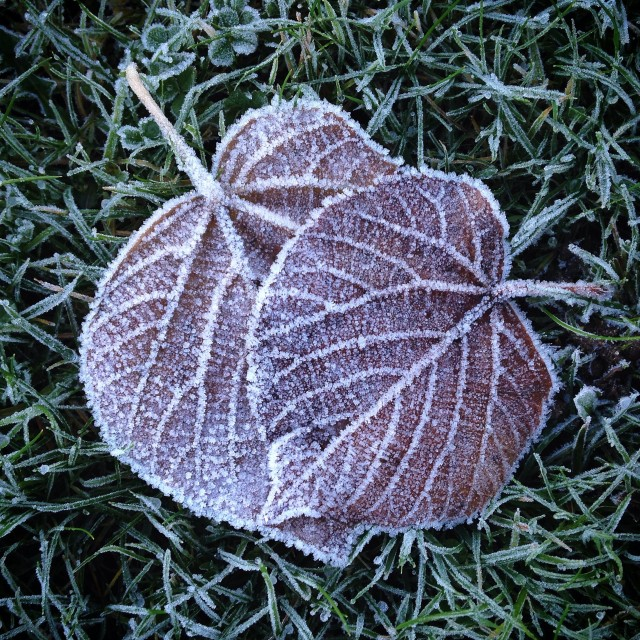"""Two frosty leaves"" stock image"