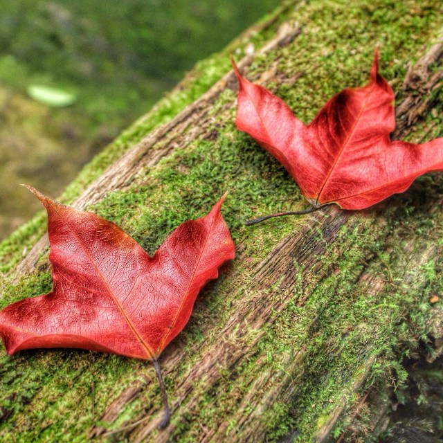 """The nature maple"" stock image"