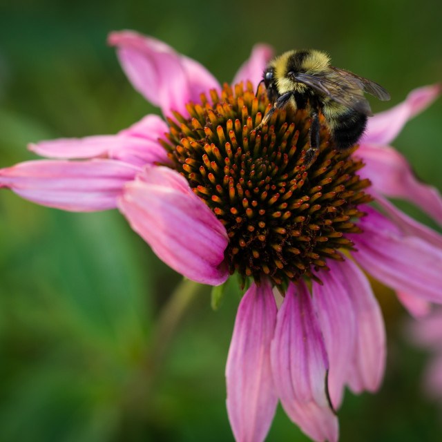 """""""Bumblebee on Coneflower"""" stock image"""