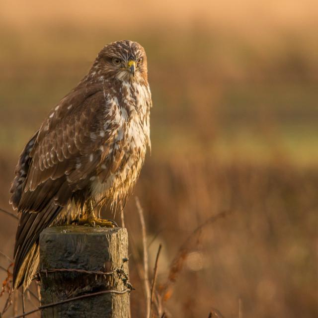 """""""common buzzard"""" stock image"""