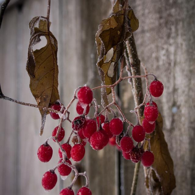 """Berries #2"" stock image"