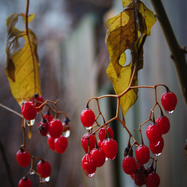 """Berries #1"" stock image"