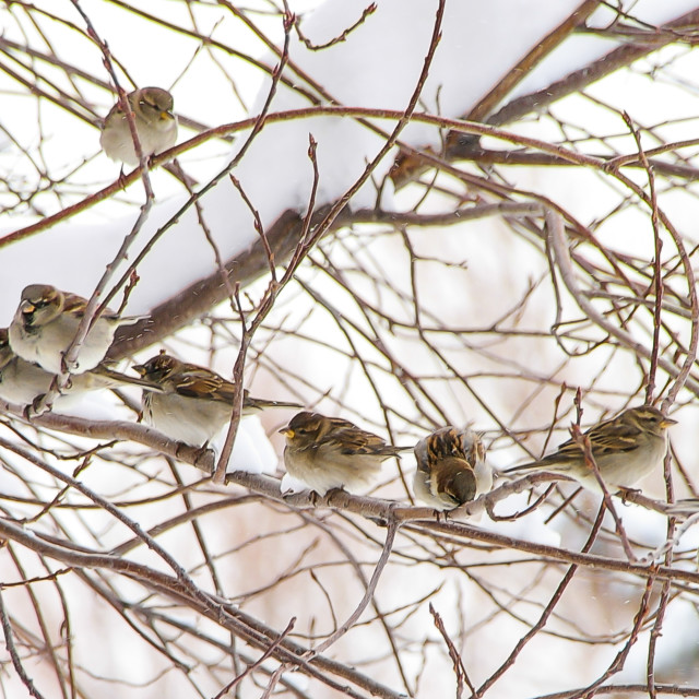 """Cold sparrows"" stock image"