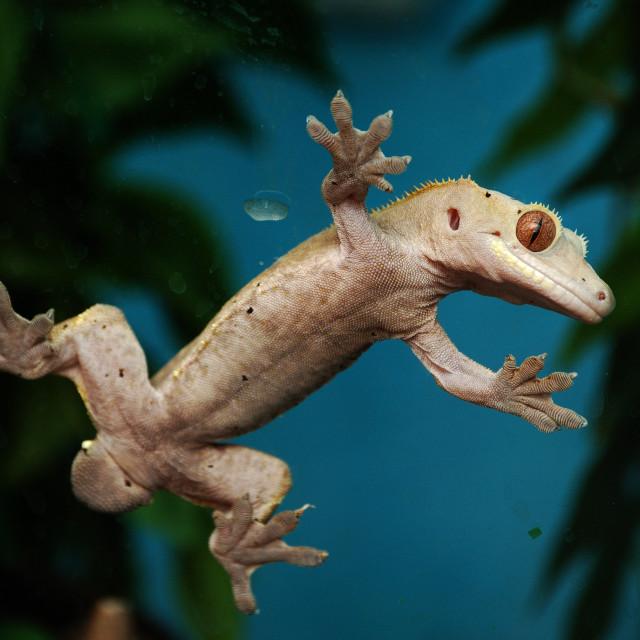 """Gecko!"" stock image"