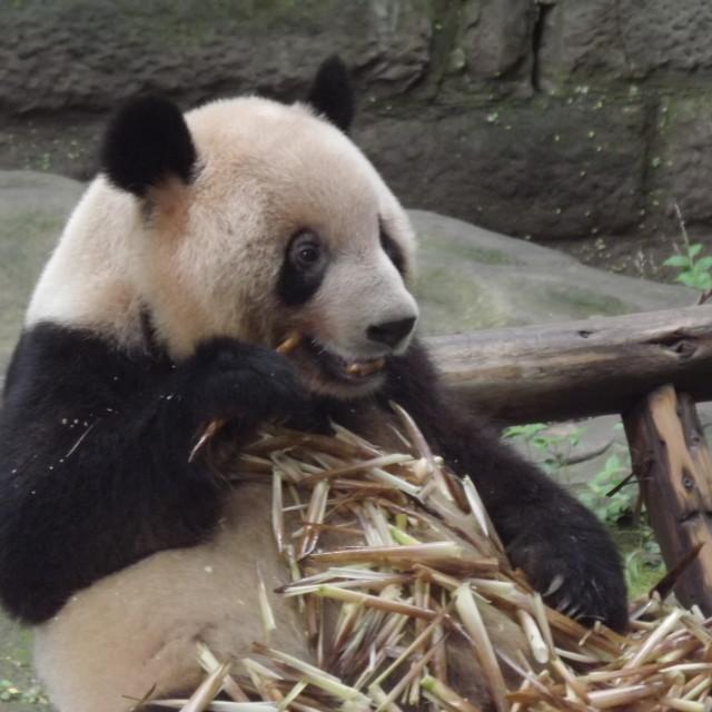 """Panda lunchtime"" stock image"