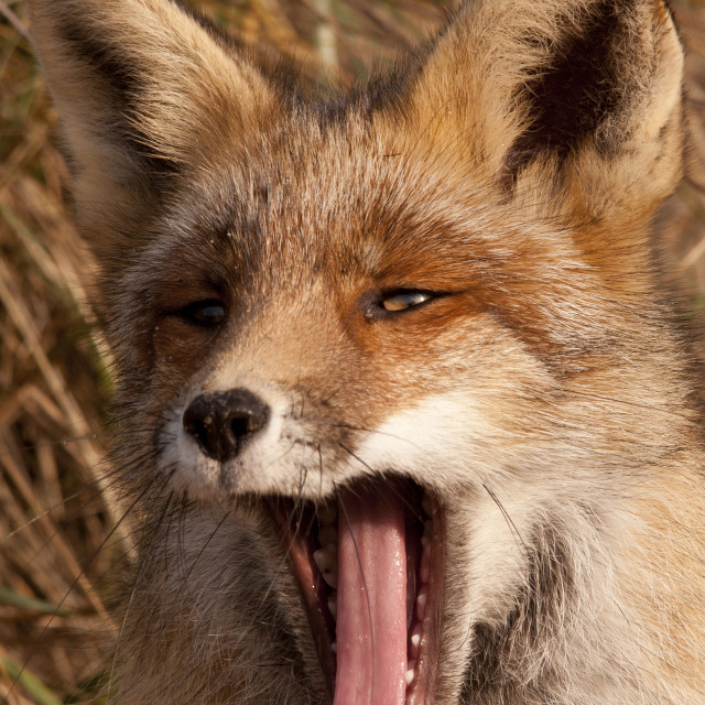 """FOX"" stock image"