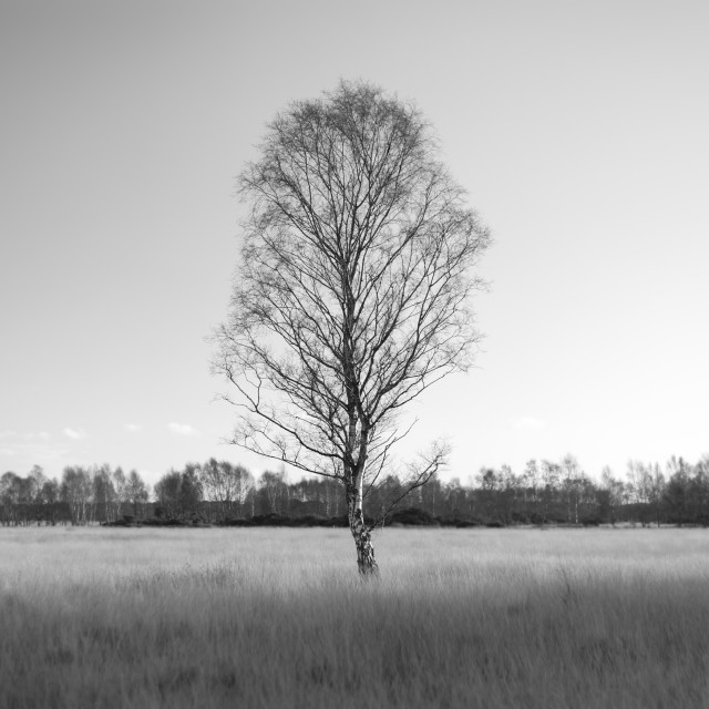 """Silver Birch - minimalist black and white"" stock image"