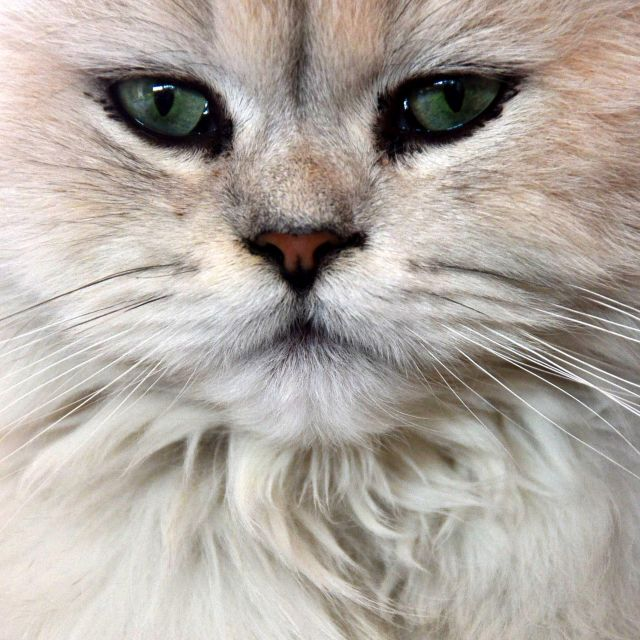 """femal persian cat chinchilla"" stock image"