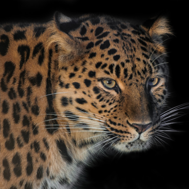 """Up close and personal! (Amur Leopard)"" stock image"