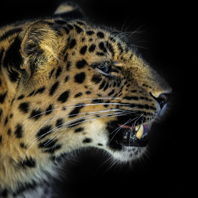"""Amur Leopard in the sun!"" stock image"