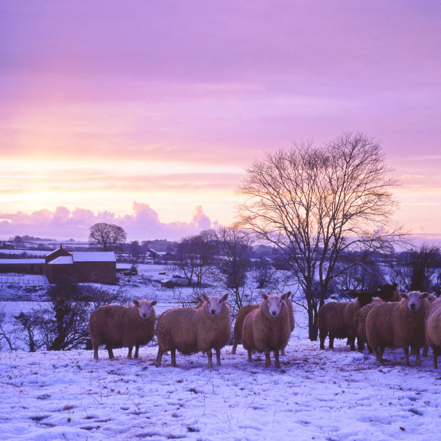 """Sheep in the snow"" stock image"