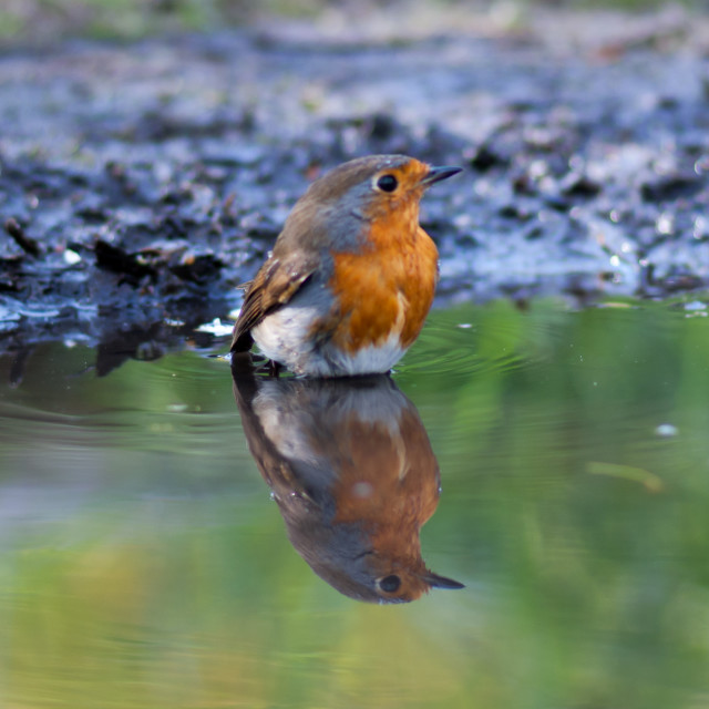 """Robin Reflections"" stock image"