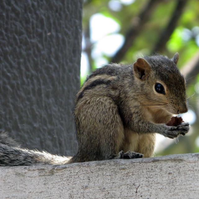 """nutty chipmunk"" stock image"