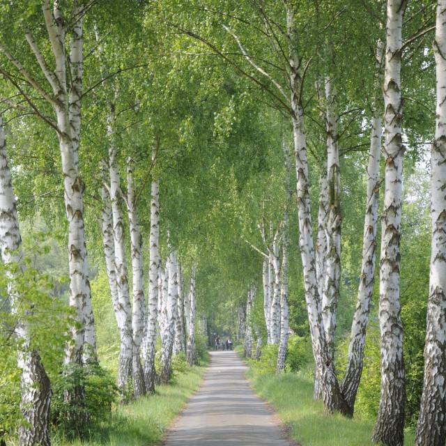 """Birch avenue"" stock image"