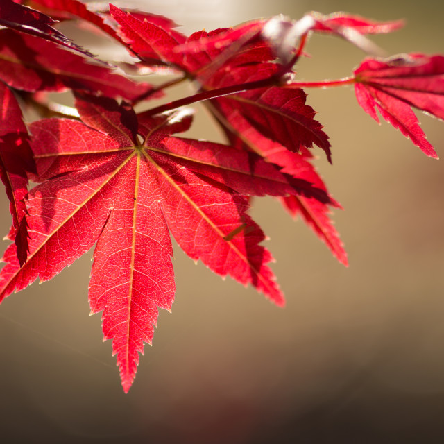 """Japanese Maple"" stock image"