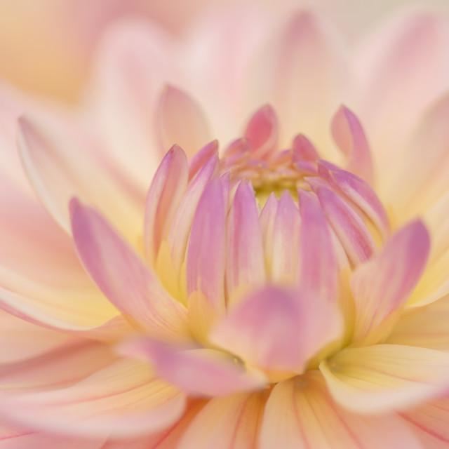 """Pink Dahlia"" stock image"