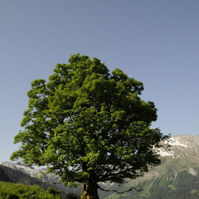 """""""Maple tree"""" stock image"""