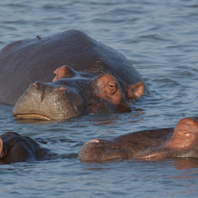 """""""Happy Hippo"""" stock image"""