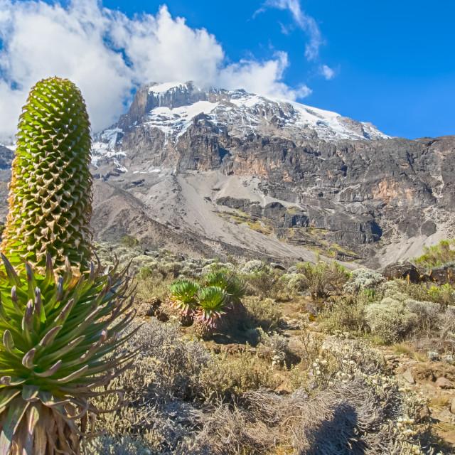 """Lobelia, Kilimanjaro, Africa"" stock image"
