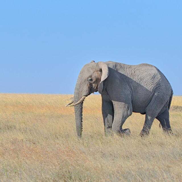 """Elephant, Serengeti National Park, Tanzania, Africa"" stock image"