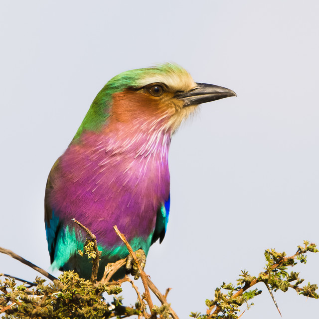 """Lilac-breasted Roller, Serengeti National Park, Tanzania, Africa"" stock image"