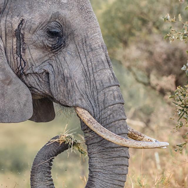 """Elephant, Tarangire National Park, Tanzania, Africa"" stock image"