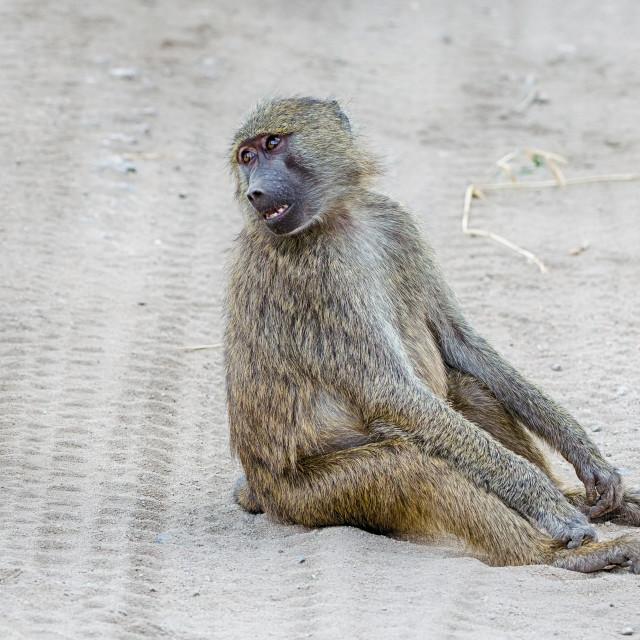 """""""Baboon, Tarangire National Park, Tanzania, Africa"""" stock image"""
