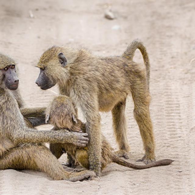 """""""Baboons, Tarangire National Park, Tanzania, Africa."""" stock image"""