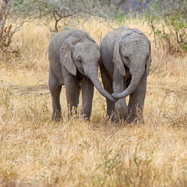"""Baby Elephants, Tarangire National Park, Tanzania, Africa"" stock image"