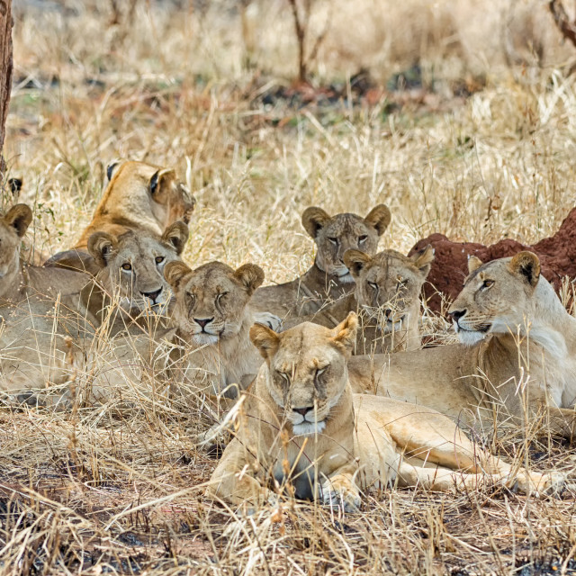 """Pride of six lions, Tarangire National Park, Manyara, Africa"" stock image"