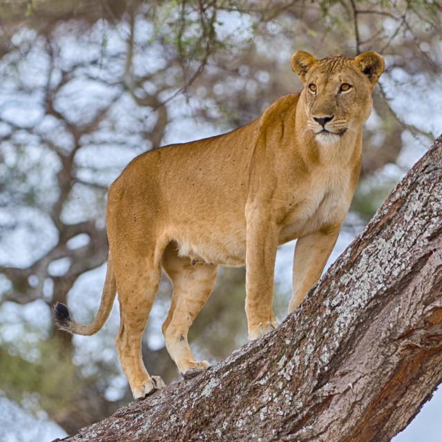 """""""Lion, Tarangire National Park, Tanzania, Africa"""" stock image"""