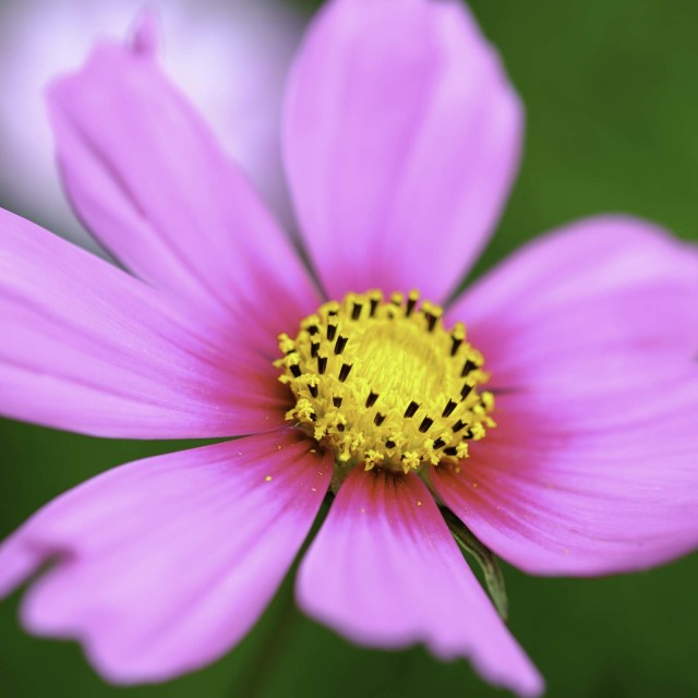 """""Pink Cosmo"""" stock image"