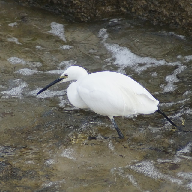 """""""Little Egret fishing in the surf"""" stock image"""