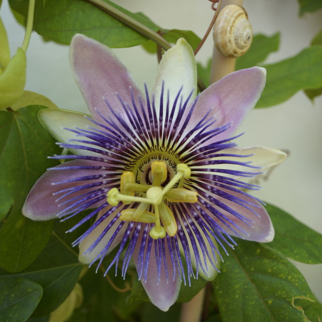 """Stunning Passion Flower"" stock image"